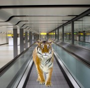 Tiger on a Travelator